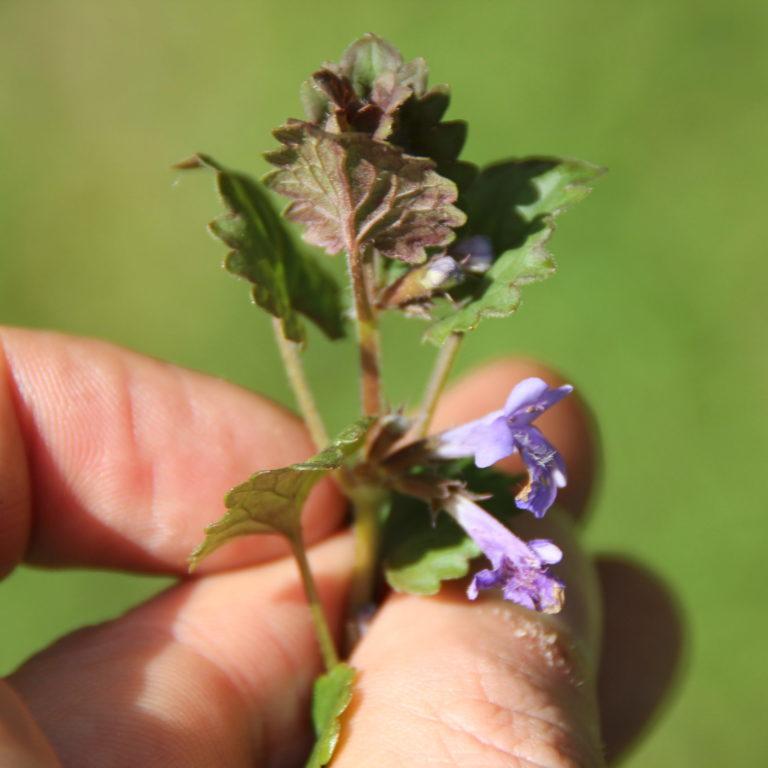 Gundermann (Glechoma hederaea)