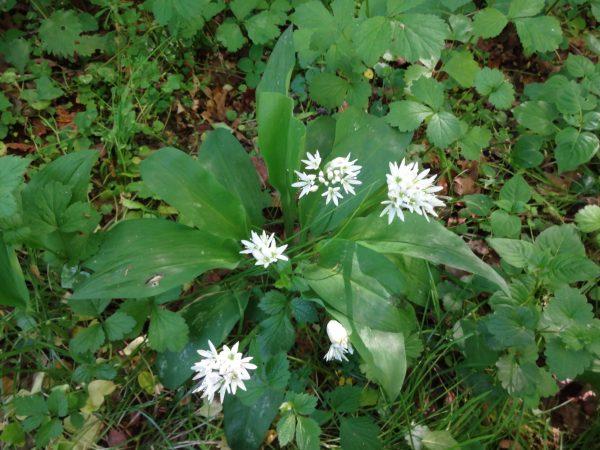 Blühender Bärlauch (Allium ursinum)