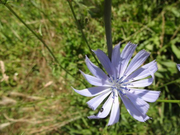 Blüte von Gemeiner Wegwarte (Cichorium intybus)